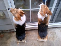 The Daily Corgi: Wednesday Window Watchers! #corgi