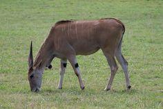 Eland  - Parque de la naturaleza de #Cabarceno #Cantabria #Spain
