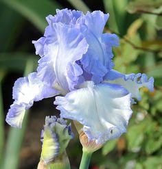 TB Iris germanica 'Palace Beauty' (Kerr, 2010)