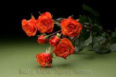 Baby Rio® MAMBO Spray Rose