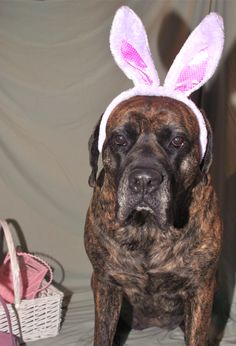 This #English #Mastiff is not happy with those bunny ears.
