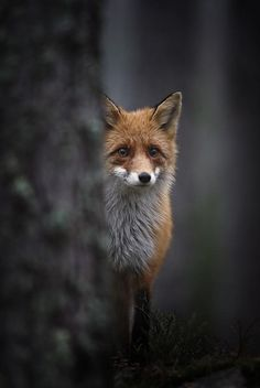 Raposa / Fox / Zorro / 狐 / Volpe / Fuchs / лиса / ثعلب / Renard / שועל Beautiful Creatures, Animals Beautiful, Fuchs Baby, Animal Pictures, Funny Pictures, Random Pictures, Funny Animals, Cute Animals, Wild Animals