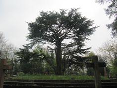 """A """"bonsai-cypress"""" at the highgate cemetery"""
