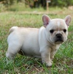 Best quality blue french bulldogs for sale, french bulldog puppies for sale AKC registered. Lilac, Chocolate, Blue and Tan French Bulldog Puppies for sale. Blue French Bulldog Puppies, French Bulldog Breed, Bulldog Breeds, White French Bulldogs, Miniature French Bulldog, Cream French Bulldog, Cute Puppies, Cute Dogs, Dogs And Puppies
