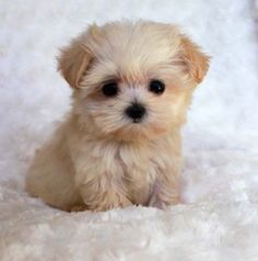 Cute Baby Dogs, Cute Little Puppies, Cute Dogs And Puppies, Baby Puppies, Cute Baby Animals, Pet Dogs, Funny Animals, Corgi Puppies, Samoyed Dogs