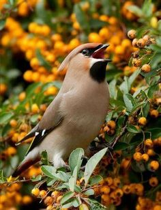 Cedar Waxwing having a Berry Eureka  moment.