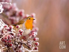 Robin Perching on a Frost-Covered Branch Photographic Print by Andrew Parkinson at Art.com