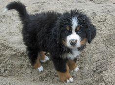 Bear the Bernese Mountain Dog.