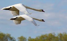 https://flic.kr/p/sFWees   Cruising The Blues   Mute Swans / Höckerschwäne  (Cygnus olor) in flight over Kloster, Island of Hiddensee