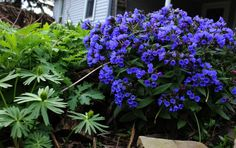 1 Pulmonaria Blue Ensign BEE plant (Blue Lungwort) Early spring long flowering