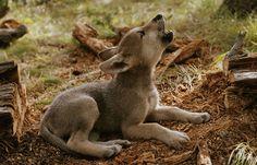 Kamots: A wolf pup