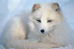 Artic Fox resting