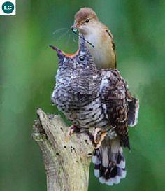 "https://www.facebook.com/WonderBirdSpecies/ Eurasian reed warbler (Acrocephalus scirpaceus) raising Cuckoo chick (Cuculus canorus); Europe and western Asia; IUCN Red List of Threatened Species 3.1 : Least Concern (LC)(Loài ít quan tâm) <("") Chích sậy Á-Âu nuôi con của Cu Cu; Châu Âu và Tây Á; HỌ CHÍCH SẬY - ACROCEPHALIDAE (Reed warblers, Marsh and tree warblers)."
