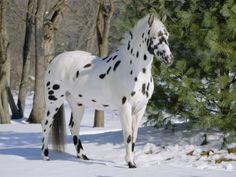 Pretty Appaloosa horse in the snow.