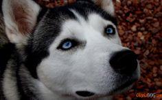 Good and active Siberian Husky