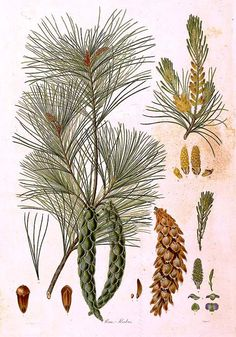 """Pinus strobus"" Ferdinand Bauer Hand-colored engraving from Aylmer Bourke Lambert, A Description of the Genus Pinus"