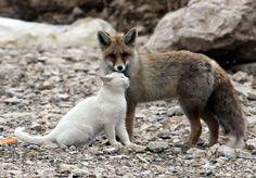 Extraña amistad entre un zorro y un gato