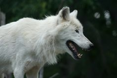 5 Sanctuaries Working to Save Abused and Neglected Wolves and Wolf-hybrids. W.O.L.F.( wolves offered life and friendship Colorado
