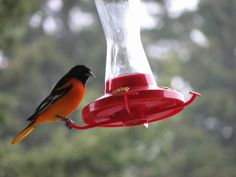 here's a visiting Northern Oriole from last summer!