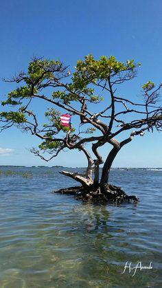 El árbol solitario en La Guancha , Ponce PR.