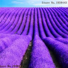 Lavendel Samen Lavandula Officinalis Garten Blume Heilpflanze Qualität AA