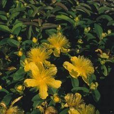 Pase Seeds - Hypericum St Johns Wort Calycinum Perennial Seeds, $3.29 (http://www.paseseeds.com/hypericum-st-johns-wort-calycinum-perennial-seeds/)