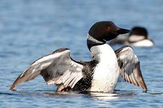 Loon tops vote for Canada's national bird | The votes are in and, if Canadians have their way, the common loon could one day join the beaver and maple leaf as an official symbol of Canada. | Morgan Lowrie • The Canadian Press • September 3, 2016