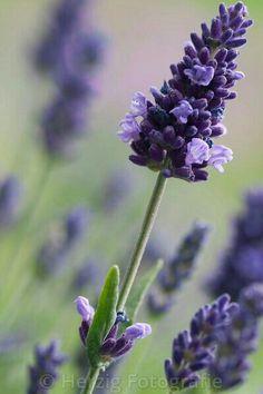 "Lavendel ""Hidcote Blue"" - Photo Lavendelstrauss by Tina & Horst Herzig Photography Provence Lavender, Lavender Cottage, Lavender Garden, Lavender Scent, Lavender Fields, Lavender Color, Lavender Flowers, Purple Flowers, Beautiful Flowers"