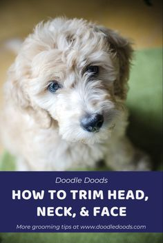Goldendoodle Grooming, Poodle Grooming, Labradoodle, Dog Grooming Tools, Dog Grooming Styles, Puppy Pics, Puppy Pictures, Dog Care Tips, Pet Care