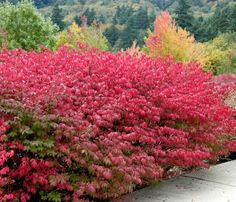 The large form, rather than the dwarf, of the 'Burning Bush' will prune to a striking tree, especially in fall when it turns blazing red.