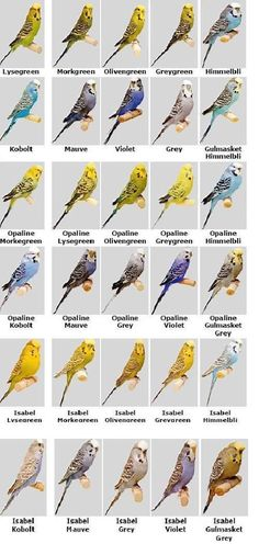 Useful to see the colours you can get Parakeet Colors, Parakeet Care, Budgie Parakeet, Budgies, Cockatiel, Parrots, Blue Budgie, Pretty Birds, Beautiful Birds