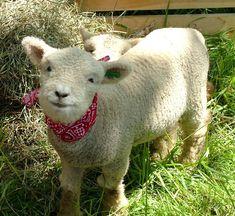 Baby doll sheep