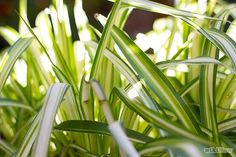 Chlorophytum, air so pure. Air Plants, Indoor Plants, Lucky Bamboo Plants, Chlorophytum, Natural Bath Bombs, Palm Plant, Mother Plant, Spider Plants, Herbs