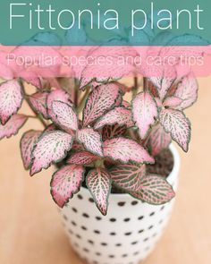 """Fittonia is a genus of perennial plants belonging to the Acanthaceae family. The plants of this genus are native to the rainforests of South America (Colombia and Peru). They are most often called by their Latin name """"Fittonia"""", """"Nerve plants"""" or """"Mosaic plants"""". These pretty little indoor plants are perfect for tabletops, hanging baskets, and terrariums. The patterned foliage of these trailing, drooping houseplants is very striking with oval, deep-green leaves arranged in pairs on a short…"""