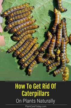 Many people prefer natural solutions to get rid of caterpillars instead of chemicals. It's safer for your family and friendlier to the environment. When growing edible plants, it's vital that you use a safe and natural method methods to control bugs and other pests. Garden Insects, Garden Pests, Growing Vegetables, Growing Plants, Caterpillar Eggs, Bug Juice, Natural Insecticide, Beneficial Insects, Parts Of A Plant
