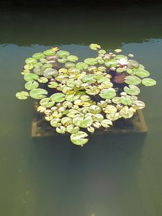 love lily pads