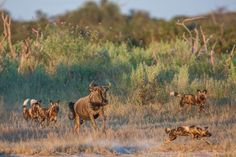 Wild dogs being chased by a wildebeest- everyone just having fun at Chitabe camp, Botswana