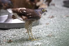Japanese Sparrowhawk  ( Accipiter Gularis )