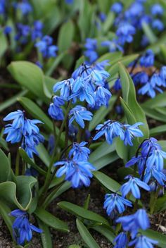 Scilla sp//Spring//poisonous, specialist ff Zinnias, Petunias, Daffodils, Tulips, Rose Of Sharon, Ornamental Plants, Allium, Colorful Garden, Salvia