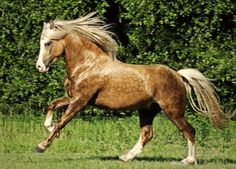 Rocky Mountain Horse. Developed in the Appalachian Mountains in Kentucky, not in the Rockies, it is a gaited breed with a smooth gait called the single foot replacing the trot. Horses are accepted in the registry in all solid colors, but those expressing the silver dapple gene are most desirable.
