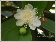 Beautiful Flower and a fruit on My Guava Tree