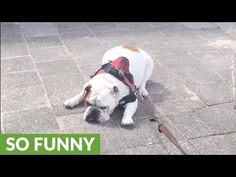Bulldog refuses to complete walk for hilarious reason http://www.lakatate.com/index.php/latest-videos/4259-bulldog-refuses-to-complete-walk-for-hilarious-reason?utm_source=social&utm_medium=pin&utm_campaign=daily