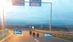 Unexpected users of motorway in Romania. Near to the town of Sibiu a mother bear with two cubs took a short cut to get faster to their desitnation. Luckily, there wasn't much traffic at this early hour. Mother Bears, Short Cuts, Romania, Conservation, Cubs, Mammals, Europe, Pixie Cuts, Bear Cubs