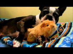 Boston Terrier gets a stuffed Boston Terrier for Christmas (Video)