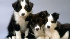 border collie and shih tzu mix | Shih Tzu Black And White Border Collie Pups Wallpaper with 1920x1080 ...