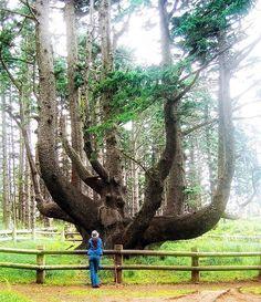 L'image du jour : L'arbre pieuvre au Cap Mears, Oregon, Etats-Unis