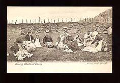 Rooing Shetland Sheep