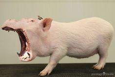bruellschwein