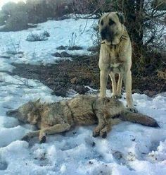 It's kind of unfair when the dog has a spiked collar Breeding Goats, Kangal Dog, Mastiff Mix, Huge Dogs, Wolf, Old Dogs, Hunting Dogs, Working Dogs, Dog Photography