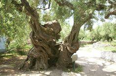 grote olijfboom, past bij mediterraanse tuinen